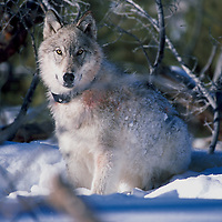 Yellowstone Wolf Issues