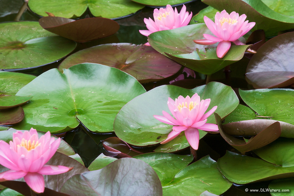 I photographed these pink water lilies in my backyard pond, at point Harbor North Carolina.