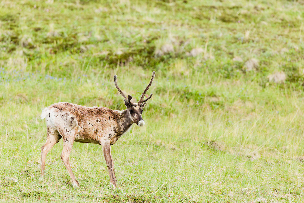 Bull Caribou (Rangifer tarandus) foraging near Stony Hill in Denali National Park in Southcentral Alaska. Summer. Morning.