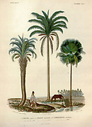 Coconut trees of South America From the book 'Voyage dans l'Amérique Méridionale' [Journey to South America: (Brazil, the eastern republic of Uruguay, the Argentine Republic, Patagonia, the republic of Chile, the republic of Bolivia, the republic of Peru), executed during the years 1826 - 1833] By: Orbigny, Alcide Dessalines d', 1802-1857; Montagne, Jean François Camille, 1784-1866; Martius, Karl Friedrich Philipp von, 1794-1868 Published Paris :Chez Pitois-Levrault et c.e ... ;1835-1847