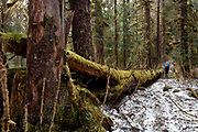 Hikers pass a moss covered fallen tree along the Amalga Trail in the Tongass National Forest north of Juneau, Alaska, April 21, 2017. <br /> Photo by David Lienemann