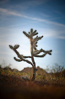 A Cholla cactus at Joshua Tree National Park in Southern California.