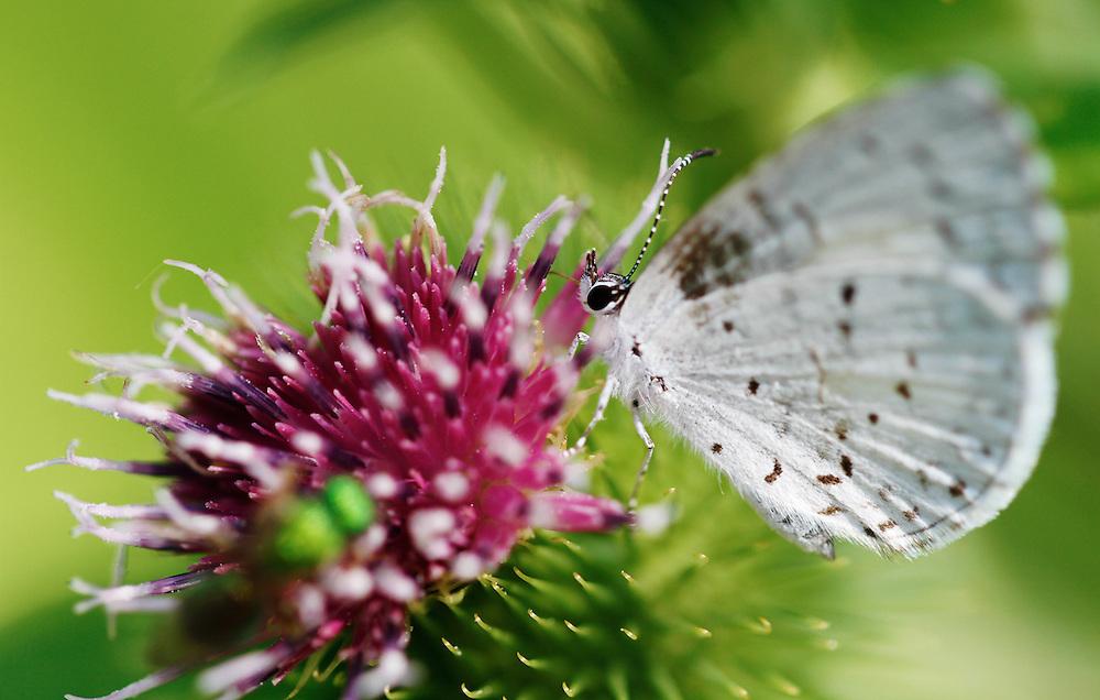 Summer Azure (Celastrina neglecta)