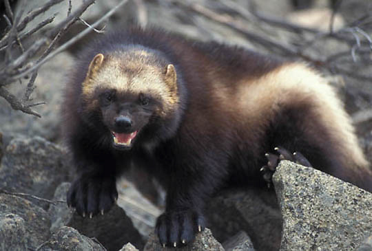 Wolverine, (Gulo gulo) Adult. Rocky mountains. Montana. Montana. Captive Animal.