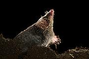 [captive] European Mole (Talpa europaea) in its molehill. | Maulwurf (Talpa europaea) in seinem Maulwurfshügel. Kiel, Deutschland
