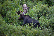Bull moose playing in Cascade Creek, in Cascade Canyon, Grand Teton National Park. Coming along the trail, we spotted a cow and calf across the creek. Some willow bushes started rustling, and a bull appeared, then vanished again. More rustling splashing and general chaos, before he erupted out of the bush, onto the marshland, then back into the creek again several times before finally ending his afternoon cool off. <br /> <br /> Copyright Dave Walsh 2014.