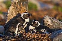 African Penguin pair nesting on old grave sites, Bird Island, Algoa Bay, Eastern Cape, South Africa