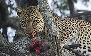 A leopard (Panthera pardus) has carried a dead impala he recently hunted onto a tree to continue eating in peace. Photographed at Serengeti National Park, Tanzania