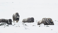 While the other Musk Oxen are laying down to rest in the howling wind, this youngster gets up to feed a bit more.