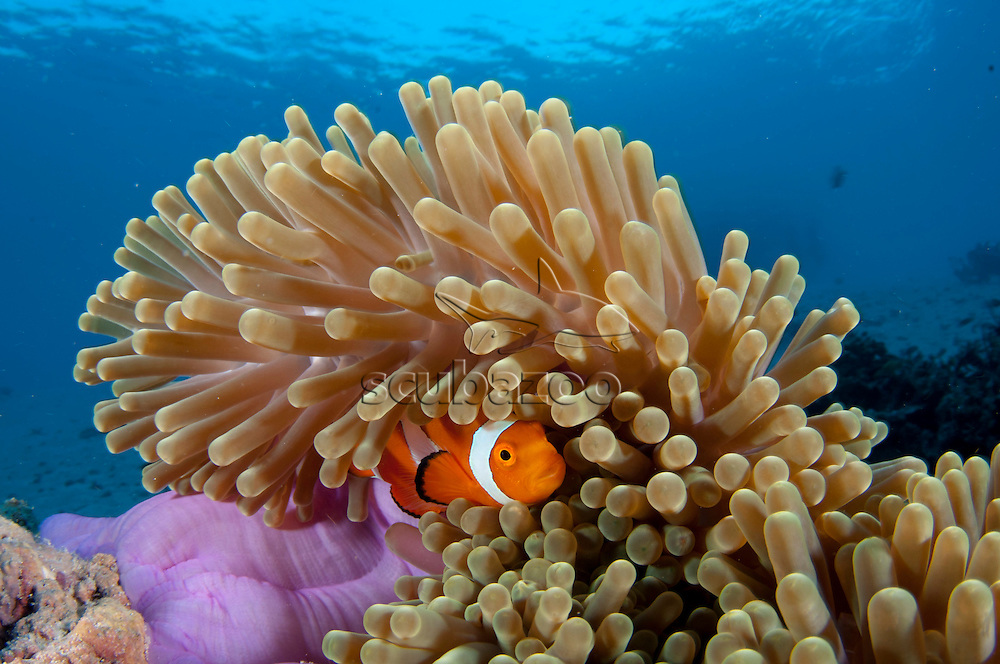 False clown anemonefish, Amphiprion ocellaris, Hiding in the protection of its anemone, Mataking Island, Sabah, Borneo, Malaysia