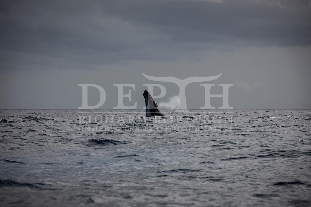 Megaptera novaeangliae (Humpback Whale) off the coast of the Vava'u Island group in the Kingdom of Tonga..Thursday 30 August 2012..Photograph Richard Robinson © 2012.