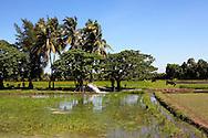 Rice paddies in Batabano, Havana Province, Cuba.
