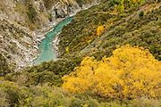 Golden foliage in autumn, along Skipper's Canyon