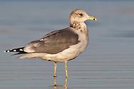 California Gull - Larus californicus - Adult non-breeding