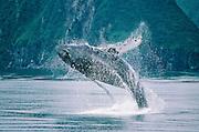 Alaska. Humpback Whale (Megaptera novaeangliae) breaching.