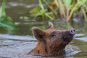Pigs can't fly, but they can certainly swim!  A juvenile Eurasian Wild Boar, wades through a swamp in Louisiana.