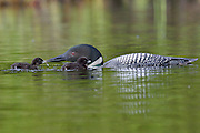 Adult loon feeding chick dragon fly larvae.