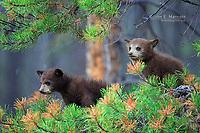 Cinnamon-coloured black bear in Jasper National Park