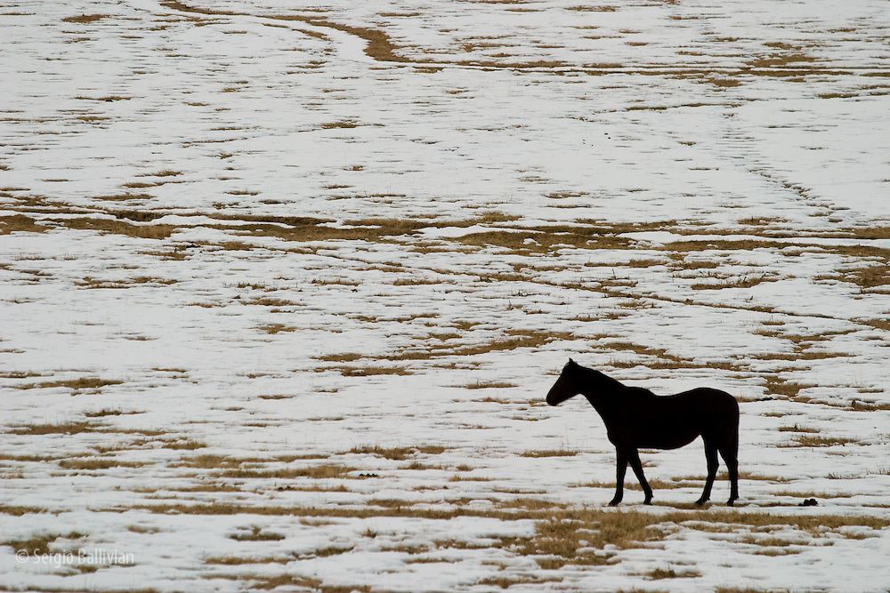 A black stallion grazes in a snow-covered field near Ouray, CO