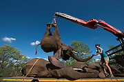 Tranquilized elephants being loaded by crane<br />