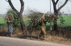Women carrying large amounts of firewood balanced on their heads in the Indian countryside,