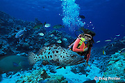diver and giant potato cod, Epinephelus tukula, The Cod Hole, northern Great Barrier Reef, Australia, ( Western Pacific Ocean ) MR 168