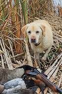 Ten Year Old Yellow Lab, Rosie, During a Manitoba Waterfowl Hunt