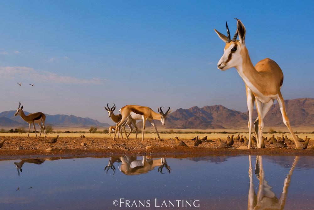 Springbok at water hole, Antidorcas marsupialis, NamibRand Nature Reserve, Namibia