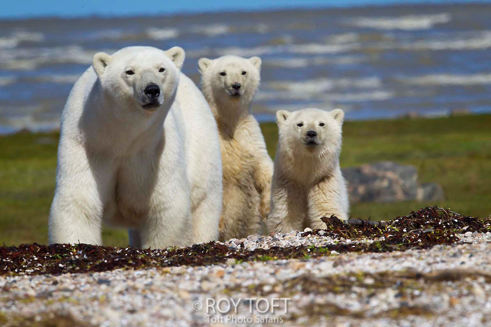 Adult Polar bear (Ursus maritimus) and two cubs, Hudson Bay, Canada