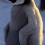 Emperor Penguin chick. Atka Bay, Antarctica
