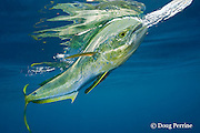 dorado, mahi mahi, or dolphin fish, Coryphaena hippurus, chasing a teaser bait, with reflection on surface, off Isla Mujeres, near Cancun, Yucatan Peninsula, Mexico ( Caribbean Sea )