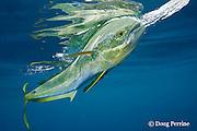dorado, mahi mahi, or dolphin fish, Coryphaena hippurus, chasing a teaser bait, with reflection on surface, off Isla Mujeres, near Cancun, Yucatan Peninsula, Mexico ( Caribbean Sea )