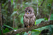 A barred owl rest on a tree branch at the Corkscrew Swamp Sanctuary in Naples, Florida, USA