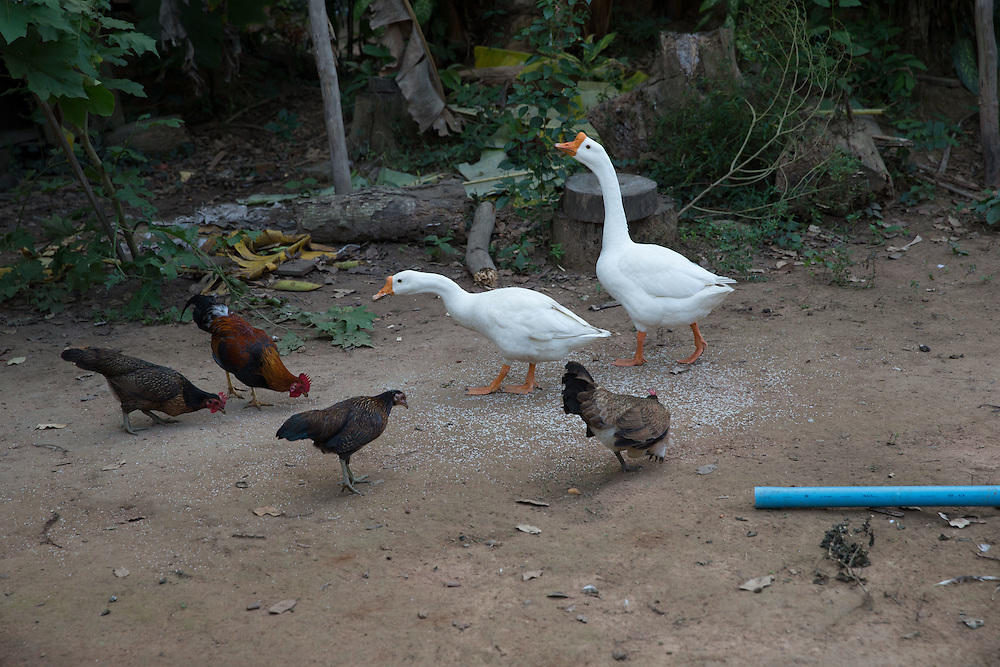Camp geese and chickens