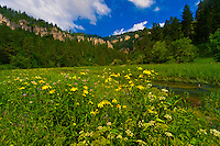 Wildflowers, Spearfish Canyon, near Deadwood and Lead, Black Hills, South Dakota USA