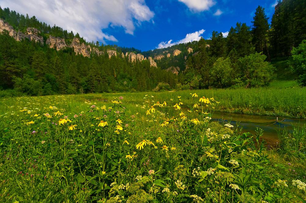 Wildflowers, Spearfish Canyon, near Deadwood and Lead, Black Hills, South Dakota USA