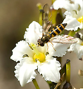 Yellow Jacket sitting on a DeerCabbage, Fauria crista galli, in Prince WIlliam Sound on Squire Island in Alaska.