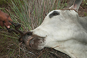 Pantanal bull. The cowboys have put in a nose ring to restrain it.<br /> Pantanal. Largest contiguous wetland system in the world. Mato Grosso do Sul Province. BRAZIL.  South America
