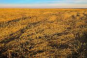 Canary seed<br /> Drinkwater<br /> Saskatchewan<br /> Canada