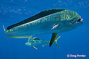 dorado, mahi mahi, or dolphin fish, Coryphaena hippurus, eating piece of bait, off Isla Mujeres, near Cancun, Yucatan Peninsula, Mexico ( Caribbean Sea )