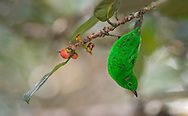 Glistening-green Tanager (Chlorochrysa phoenicotis) El Queremal, Valle del Cauca.