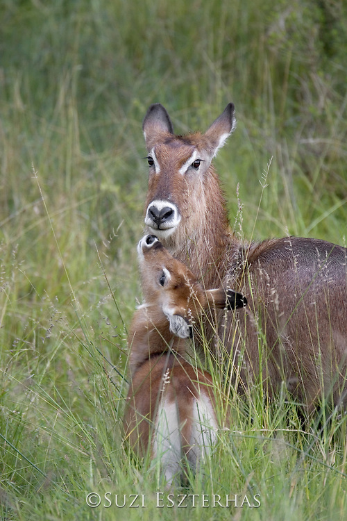 Waterbuck<br /> Kobus ellipsiprymnus<br /> Mother and calf <br /> Maasai Mara Reserve, Kenya