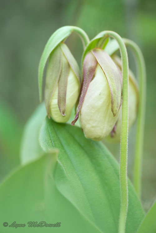 Buds of the Pink Ladys Slipper