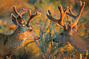 LIGHT ON EARTH| Mule deer (Odocoileus hemionus) friends (and a caddisfly on an antler) in sunset, Sonoran desert, Arizona.