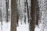 Heavy, wet snow fell on February 17 & 18, 2009, in Northeast Wisconsin, creating an almost magical white coating on all of Mother Nature's creations. This hardwood forest, while very stark in appearance, is truly beautiful.