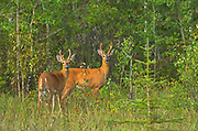 White-tailed deer (Odocoileus virginianus) bucks at edge of aspen parkland forest<br />