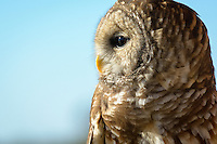 Barred Owl, (Strix varia), Assateague Island National Seashore, Maryland USA