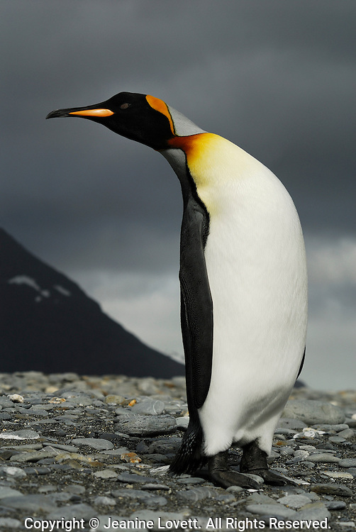 Curious King penguin leans over to check out photographer .