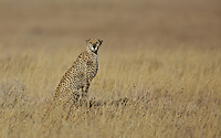 Cheetah in morning light, Central serengeti