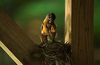 Robins at home.  ©2018 Karen Bobotas Photographer